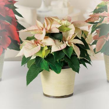Poinsettia - Cream