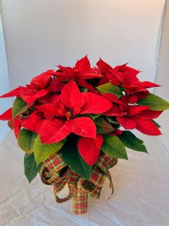 Poinsettia Large Red